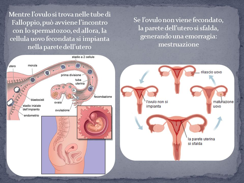 Mentre l'ovulo si trova nelle tube di Falloppio, può avviene l'incontro con lo spermatozoo, ed allora, la cellula uovo fecondata si impianta nella parete dell'utero