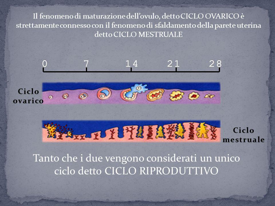 Il fenomeno di maturazione dell'ovulo, detto CICLO OVARICO è strettamente connesso con il fenomeno di sfaldamento della parete uterina detto CICLO MESTRUALE