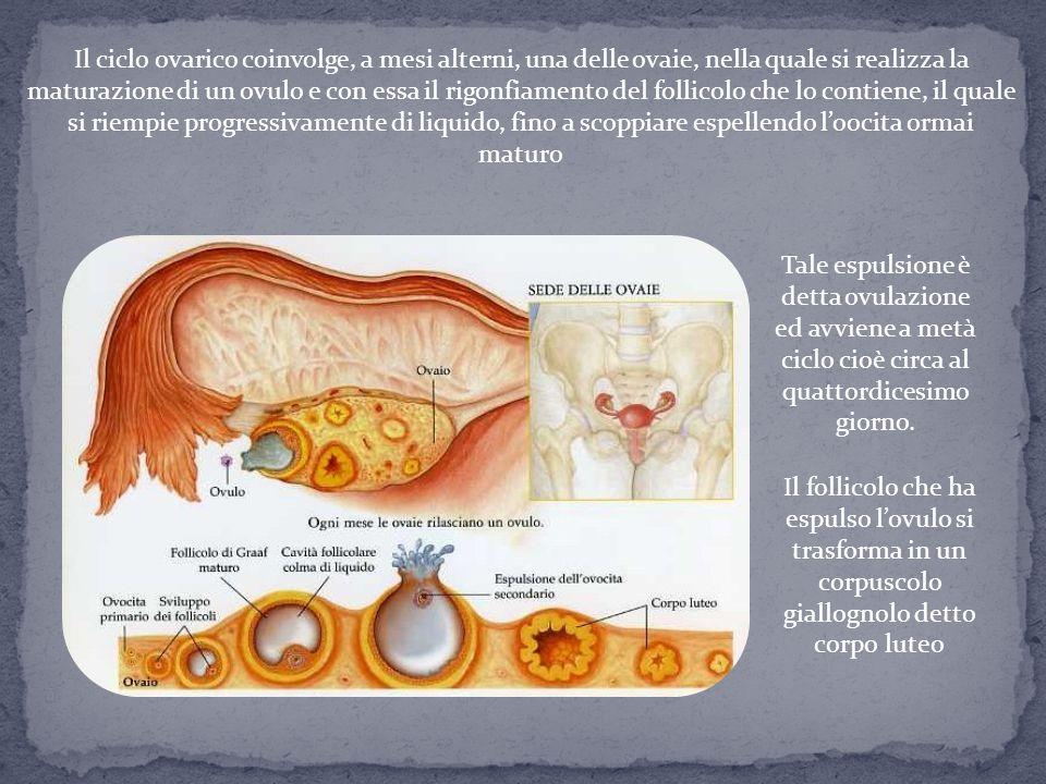 Il ciclo ovarico coinvolge, a mesi alterni, una delle ovaie, nella quale si realizza la maturazione di un ovulo e con essa il rigonfiamento del follicolo che lo contiene, il quale si riempie progressivamente di liquido, fino a scoppiare espellendo l'oocita ormai maturo