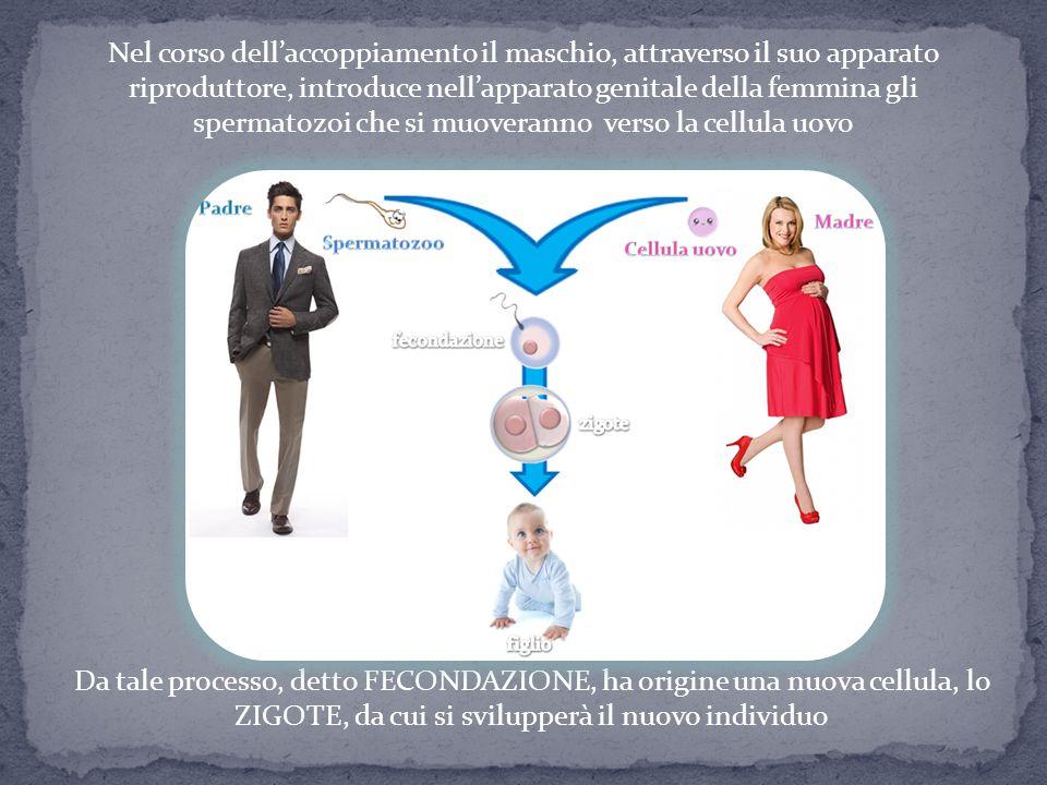 Nel corso dell'accoppiamento il maschio, attraverso il suo apparato riproduttore, introduce nell'apparato genitale della femmina gli spermatozoi che si muoveranno verso la cellula uovo