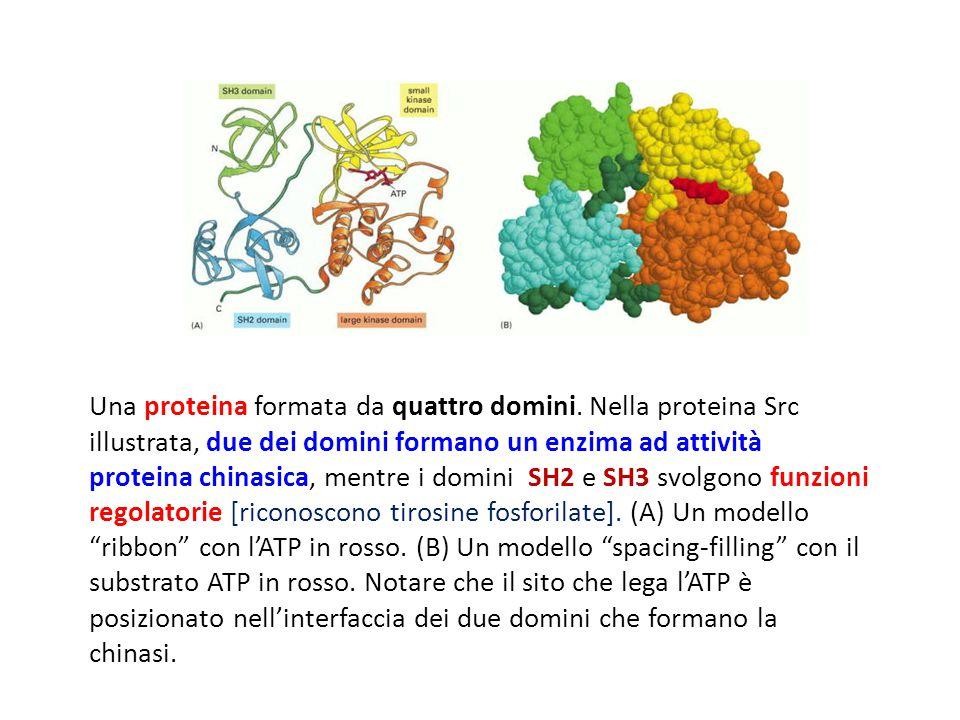 Una proteina formata da quattro domini