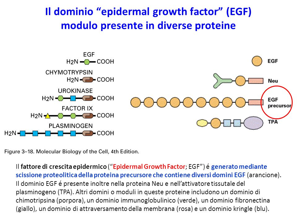 Il dominio epidermal growth factor (EGF) modulo presente in diverse proteine