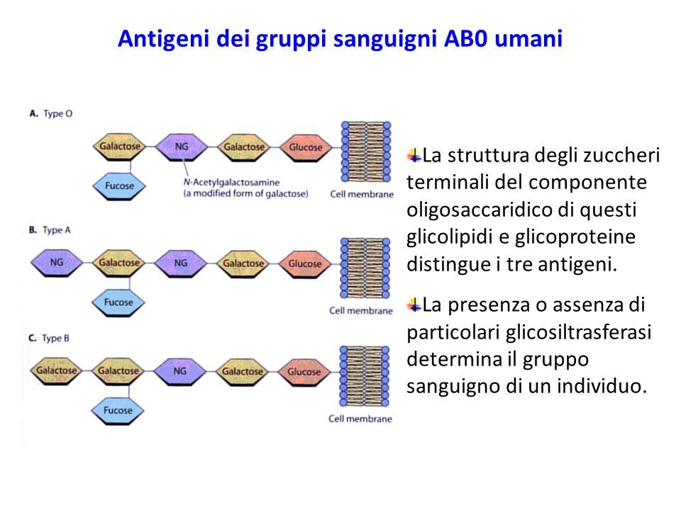 Antigeni dei gruppi sanguigni AB0 umani