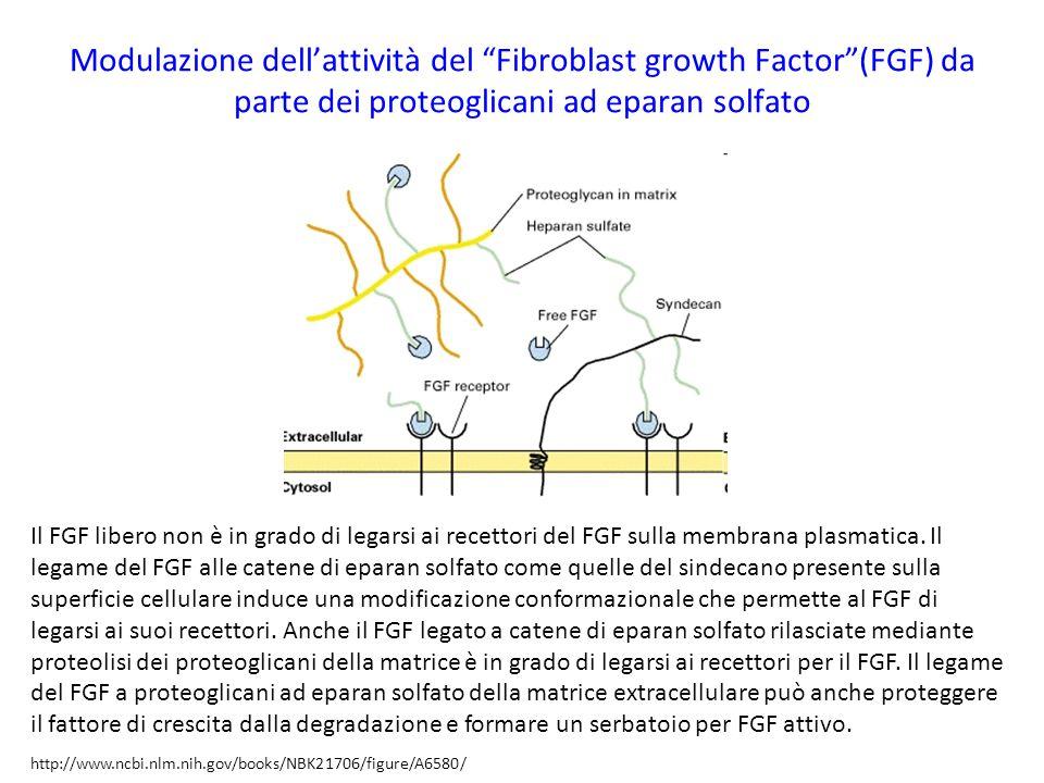 Modulazione dell'attività del Fibroblast growth Factor (FGF) da parte dei proteoglicani ad eparan solfato