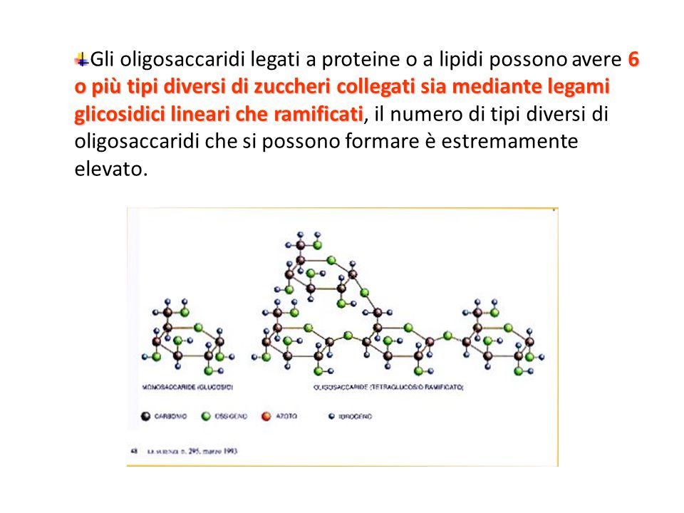 Gli oligosaccaridi legati a proteine o a lipidi possono avere 6 o più tipi diversi di zuccheri collegati sia mediante legami glicosidici lineari che ramificati, il numero di tipi diversi di oligosaccaridi che si possono formare è estremamente elevato.