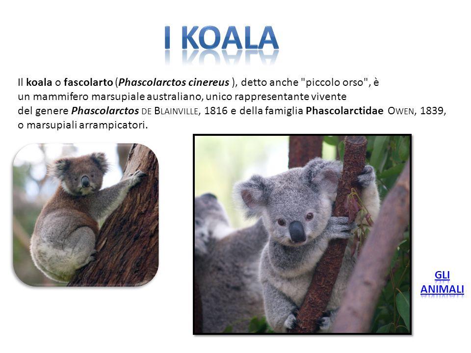 I koala