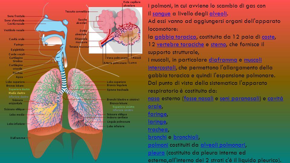 i polmoni, in cui avviene lo scambio di gas con il sangue a livello degli alveoli.