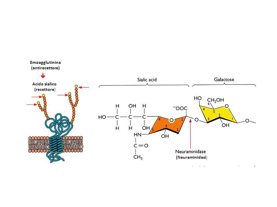  Emoagglutinina (antirecettore) Acido sialico (recettore)