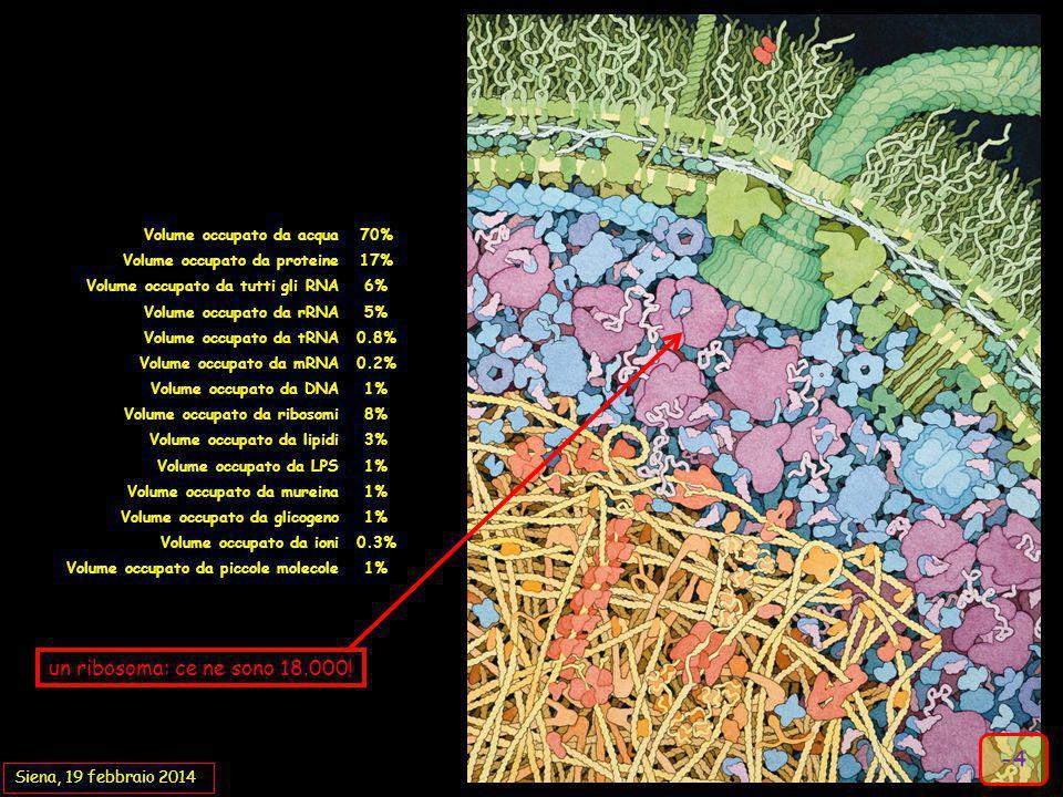 un ribosoma: ce ne sono 18.000! -4 Volume occupato da acqua 70%
