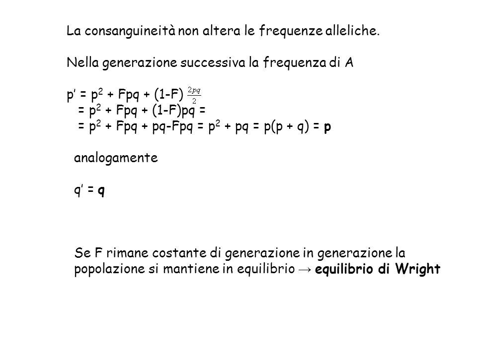 La consanguineità non altera le frequenze alleliche.