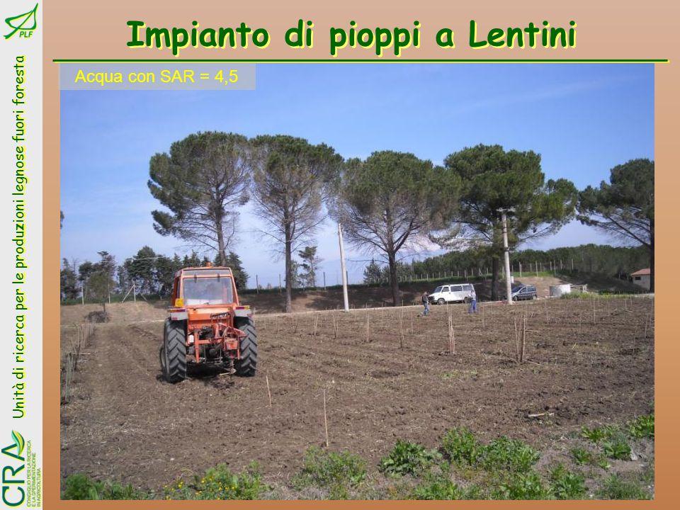 Impianto di pioppi a Lentini