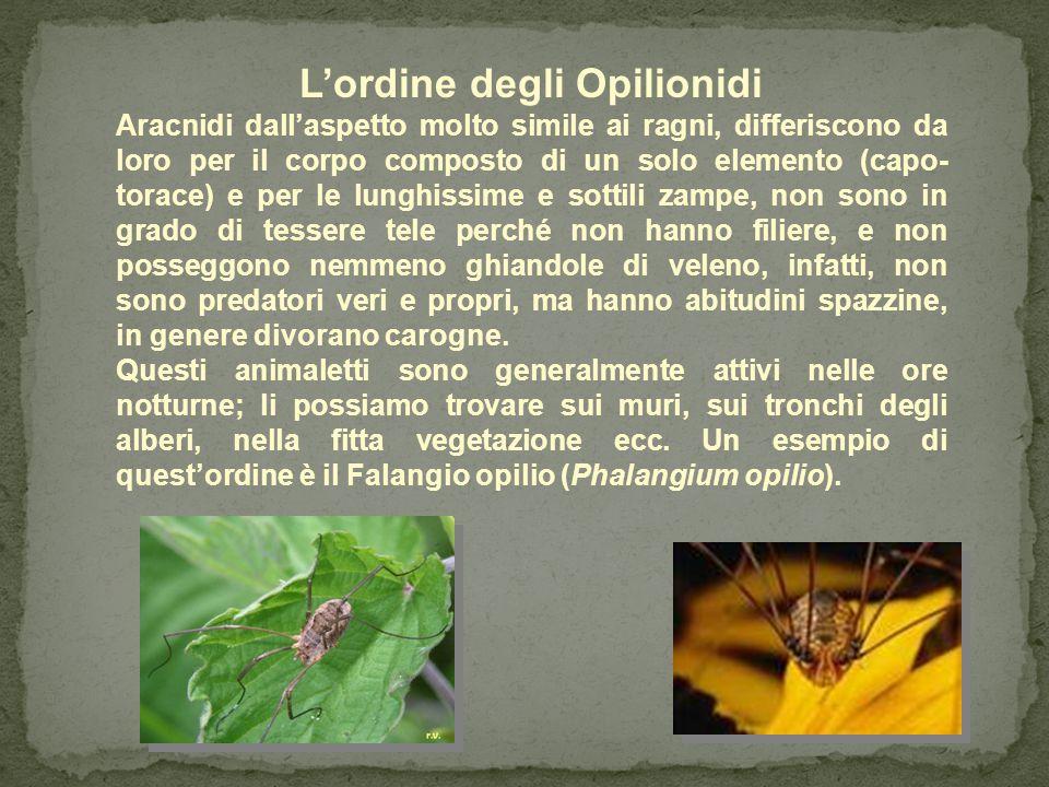 L'ordine degli Opilionidi