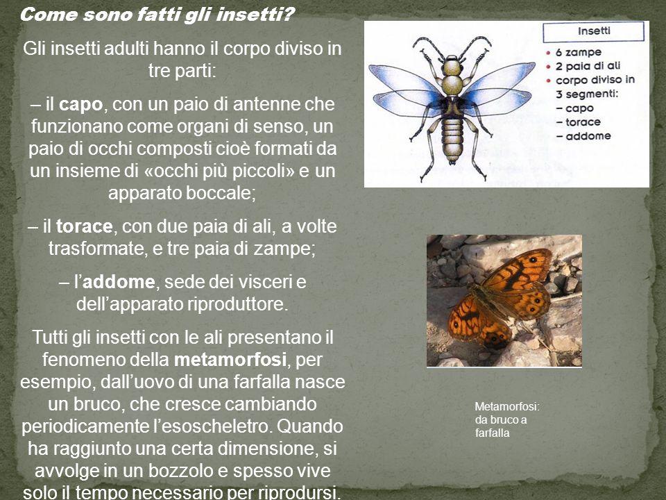 Come sono fatti gli insetti
