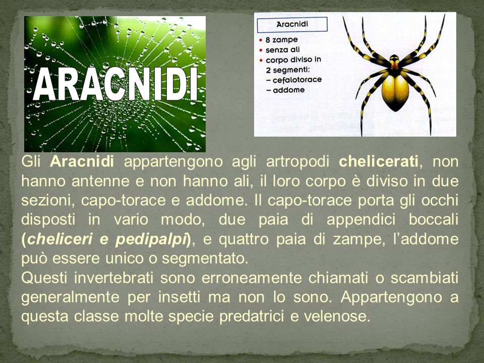 ARACNIDI