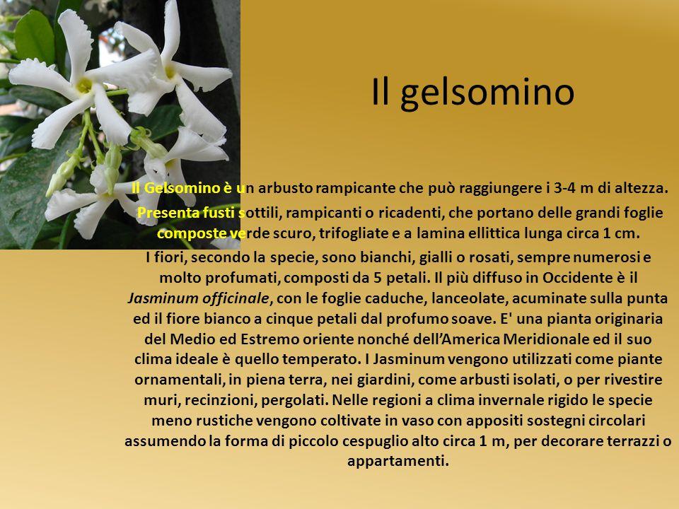 Il gelsomino Il Gelsomino è un arbusto rampicante che può raggiungere i 3-4 m di altezza.