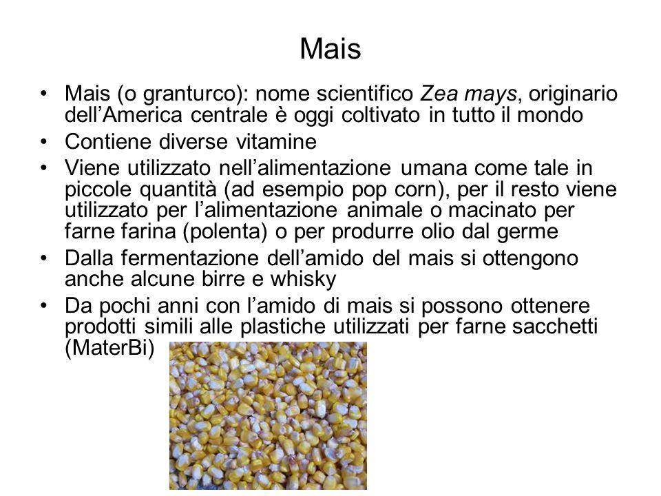 Mais Mais (o granturco): nome scientifico Zea mays, originario dell'America centrale è oggi coltivato in tutto il mondo.
