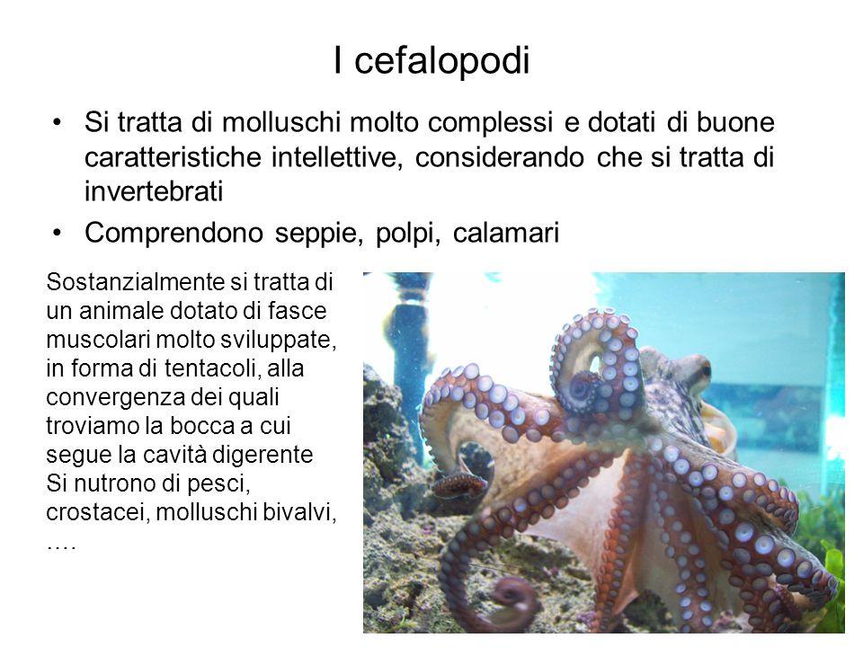 I cefalopodi Si tratta di molluschi molto complessi e dotati di buone caratteristiche intellettive, considerando che si tratta di invertebrati.