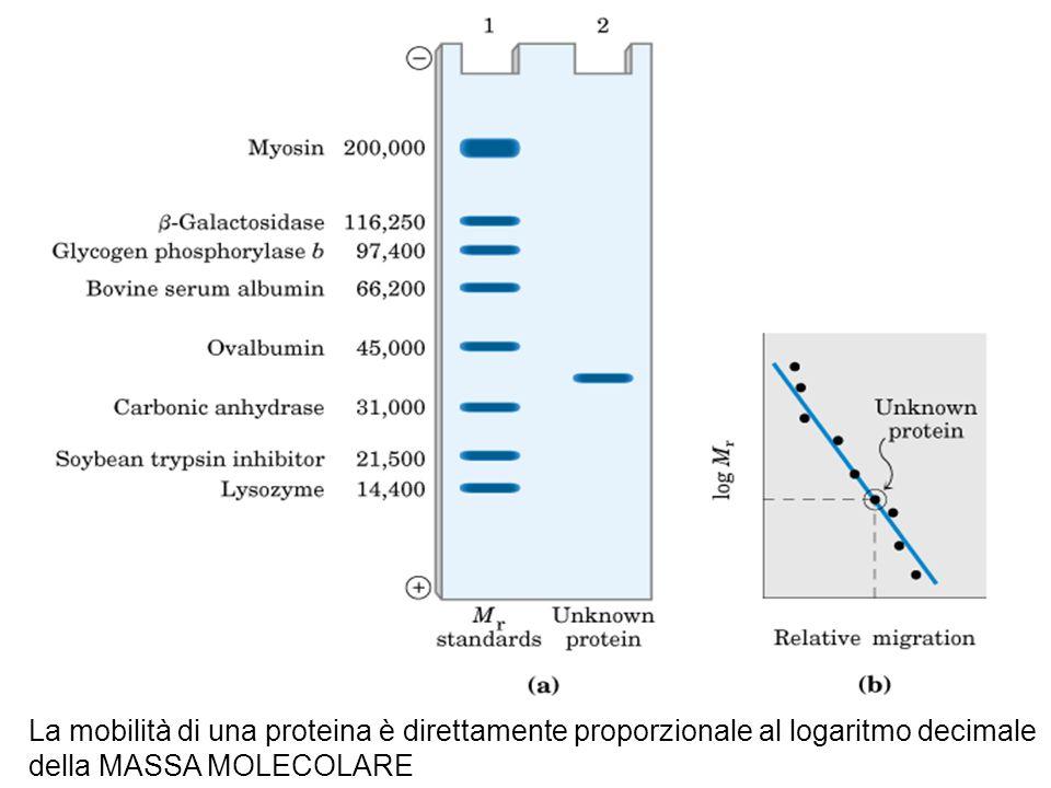 La mobilità di una proteina è direttamente proporzionale al logaritmo decimale