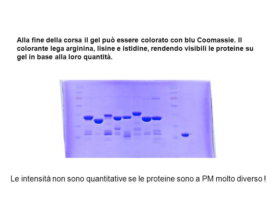 Alla fine della corsa il gel può essere colorato con blu Coomassie