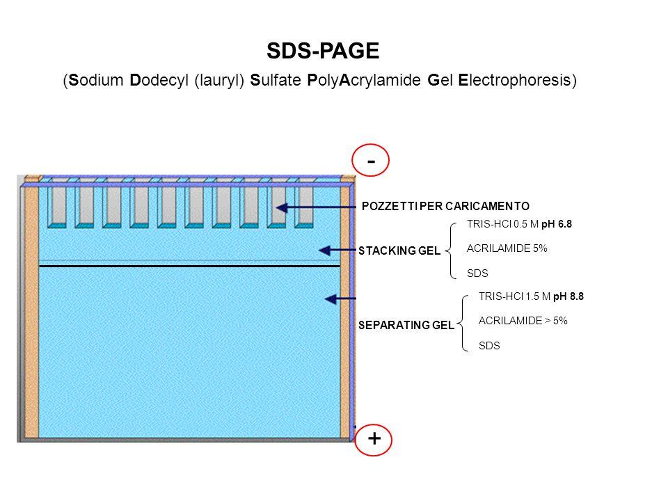 (Sodium Dodecyl (lauryl) Sulfate PolyAcrylamide Gel Electrophoresis)