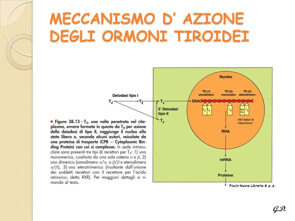 MECCANISMO D' AZIONE DEGLI ORMONI TIROIDEI
