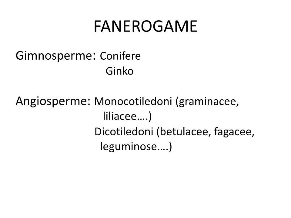 FANEROGAME Gimnosperme: Conifere