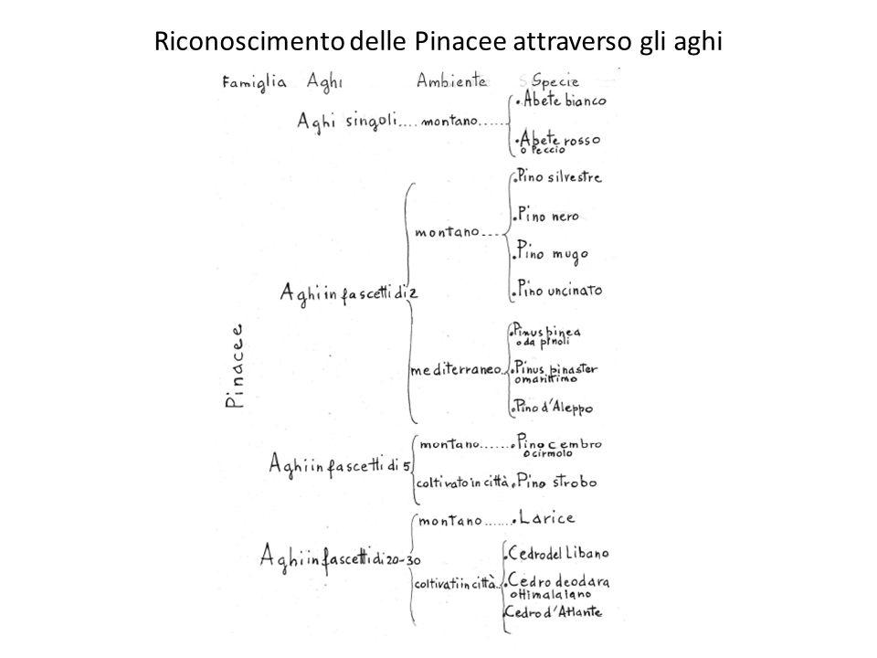 Riconoscimento delle Pinacee attraverso gli aghi