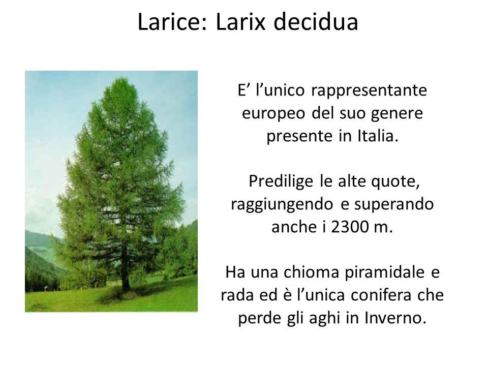Larice: Larix decidua E' l'unico rappresentante europeo del suo genere presente in Italia.