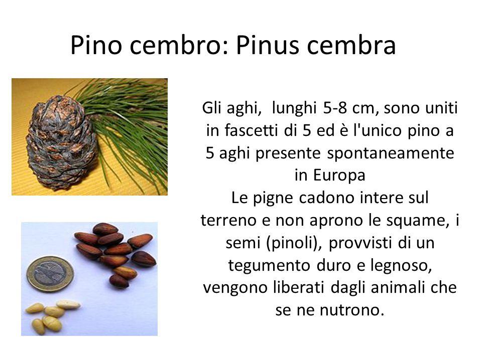 Pino cembro: Pinus cembra