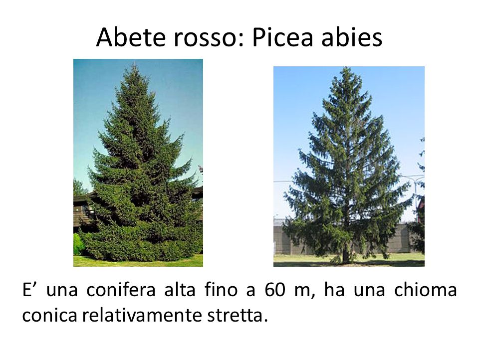 Abete rosso: Picea abies