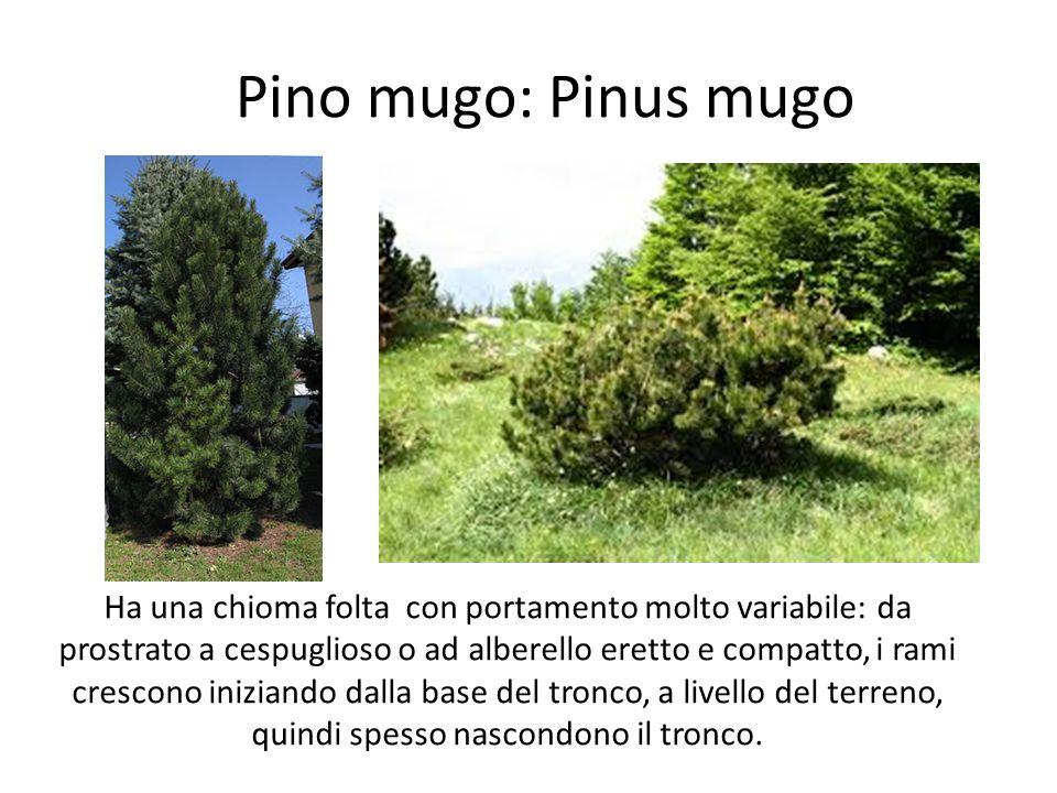 Pino mugo: Pinus mugo