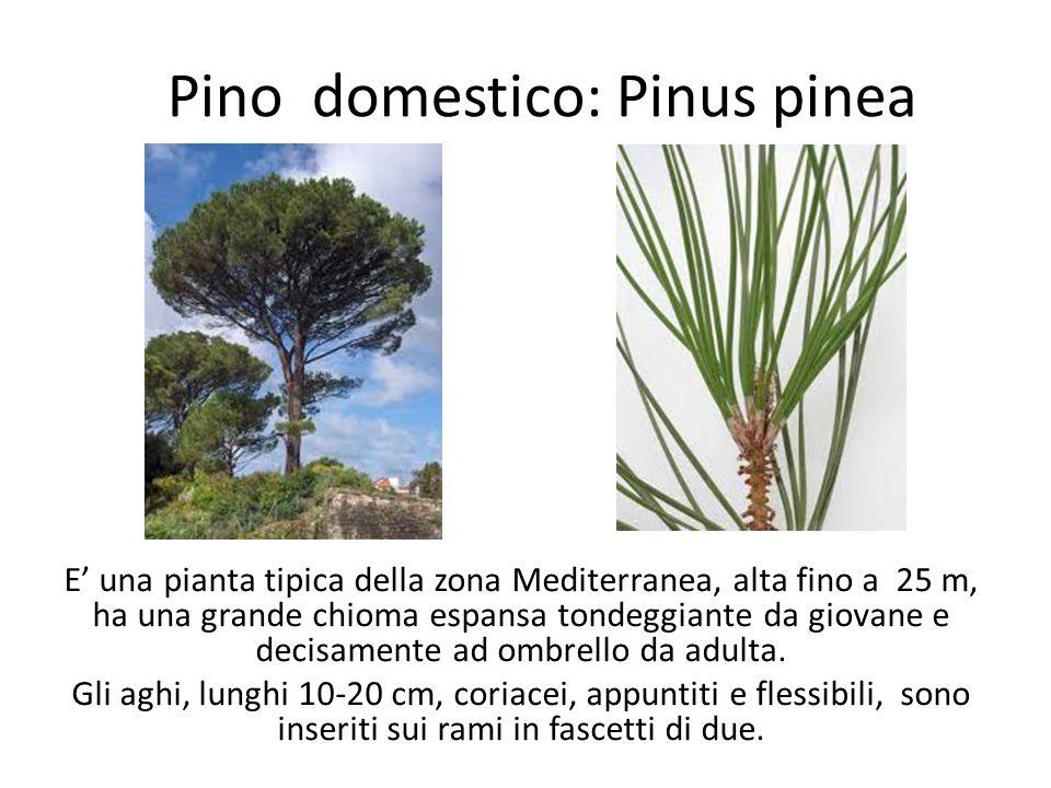 Pino domestico: Pinus pinea