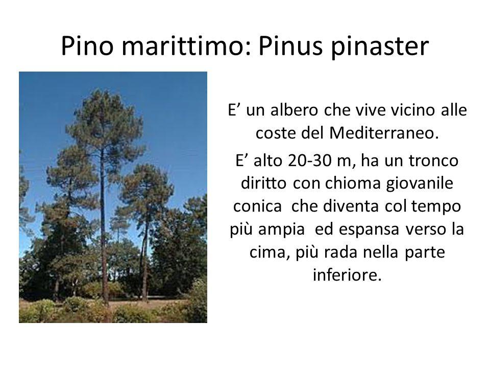Pino marittimo: Pinus pinaster