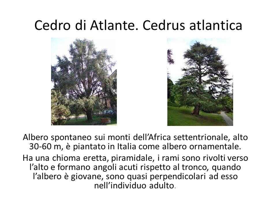 Cedro di Atlante. Cedrus atlantica