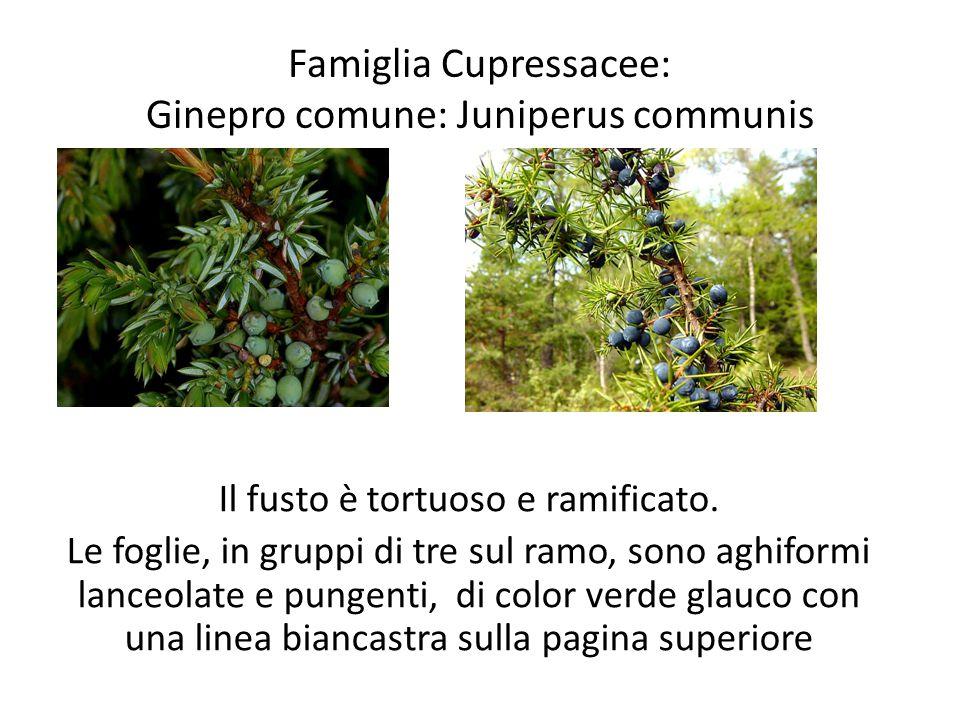 Famiglia Cupressacee: Ginepro comune: Juniperus communis