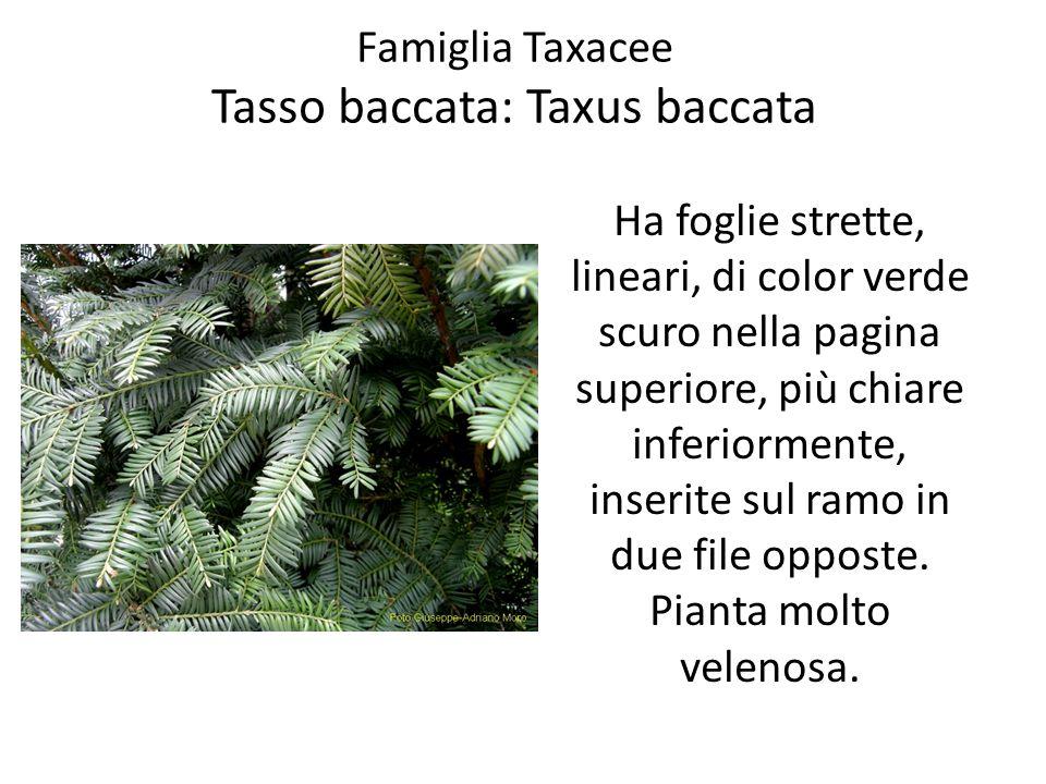 Famiglia Taxacee Tasso baccata: Taxus baccata