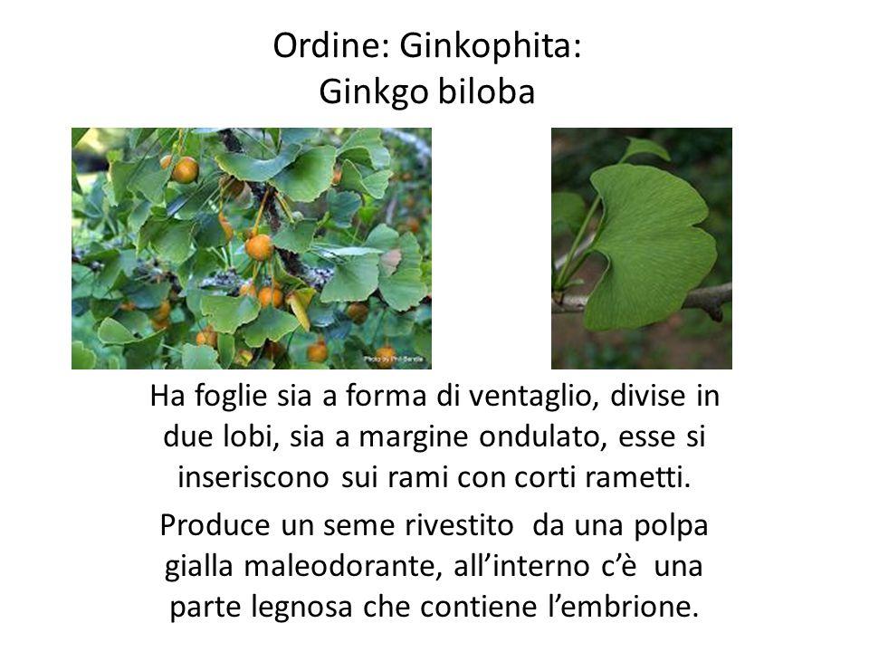 Ordine: Ginkophita: Ginkgo biloba