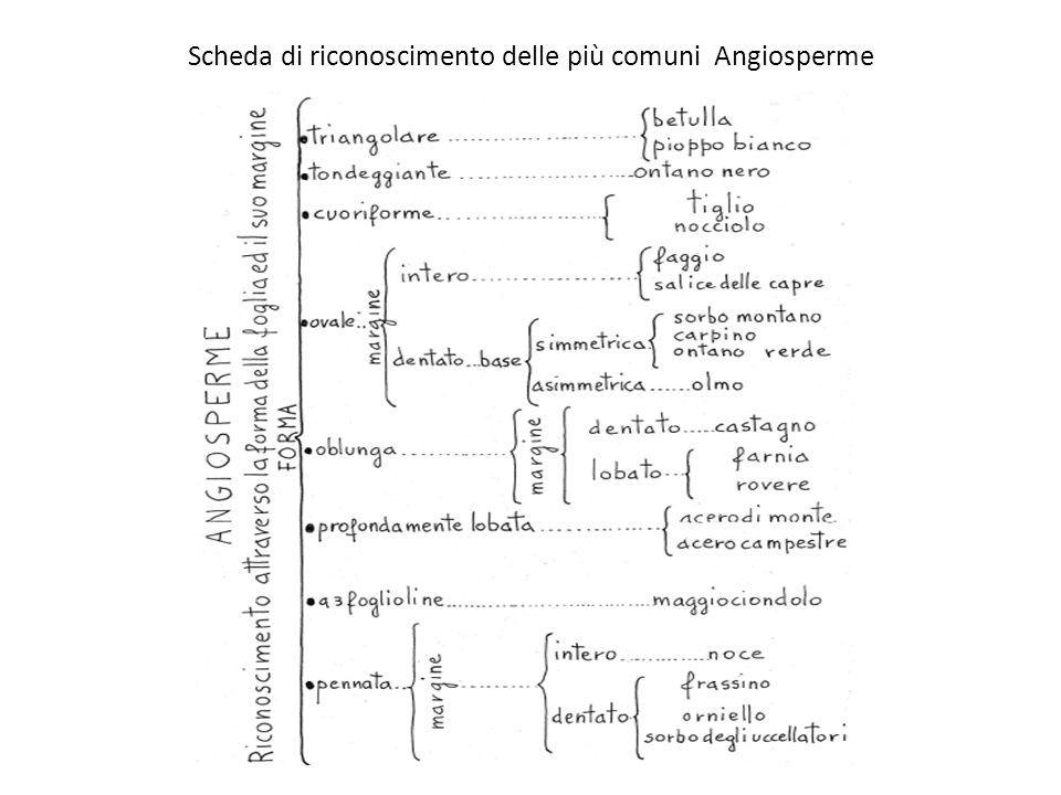 Scheda di riconoscimento delle più comuni Angiosperme