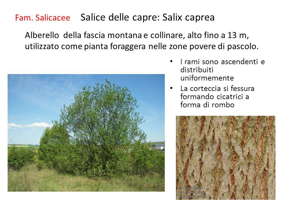 Fam. Salicacee Salice delle capre: Salix caprea