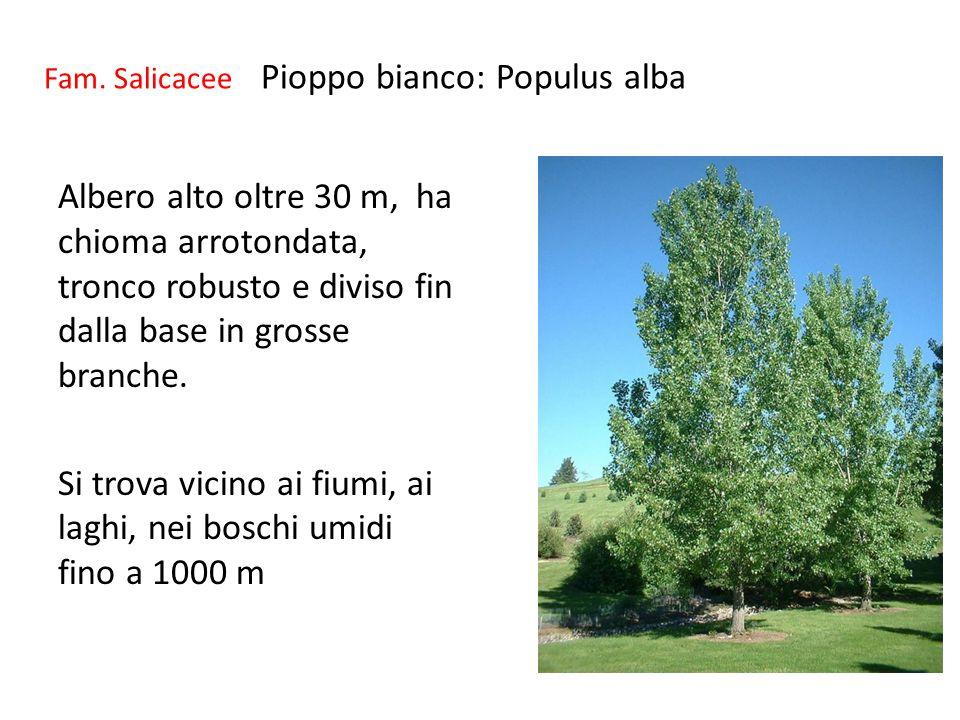 Fam. Salicacee Pioppo bianco: Populus alba