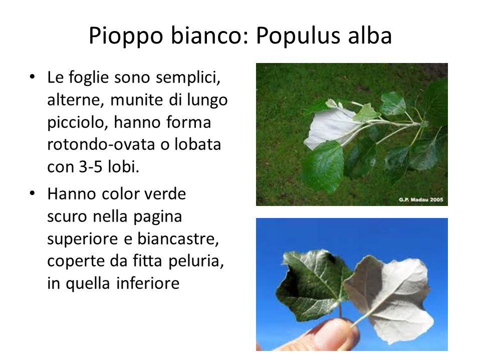 Pioppo bianco: Populus alba