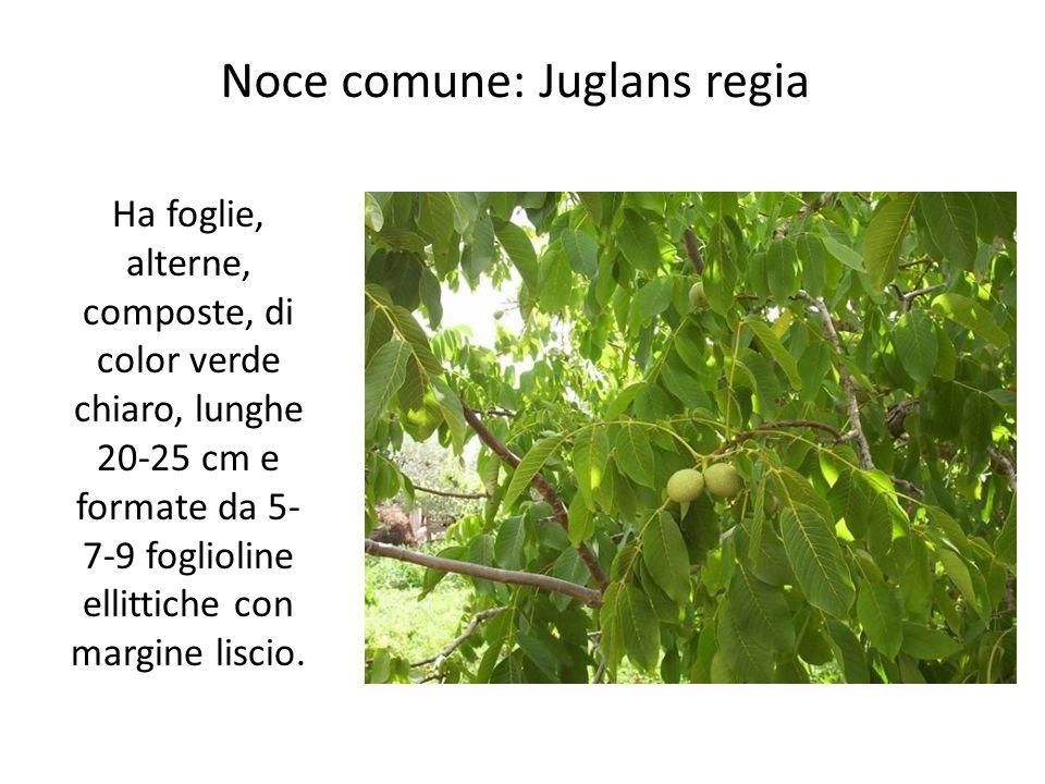 Noce comune: Juglans regia