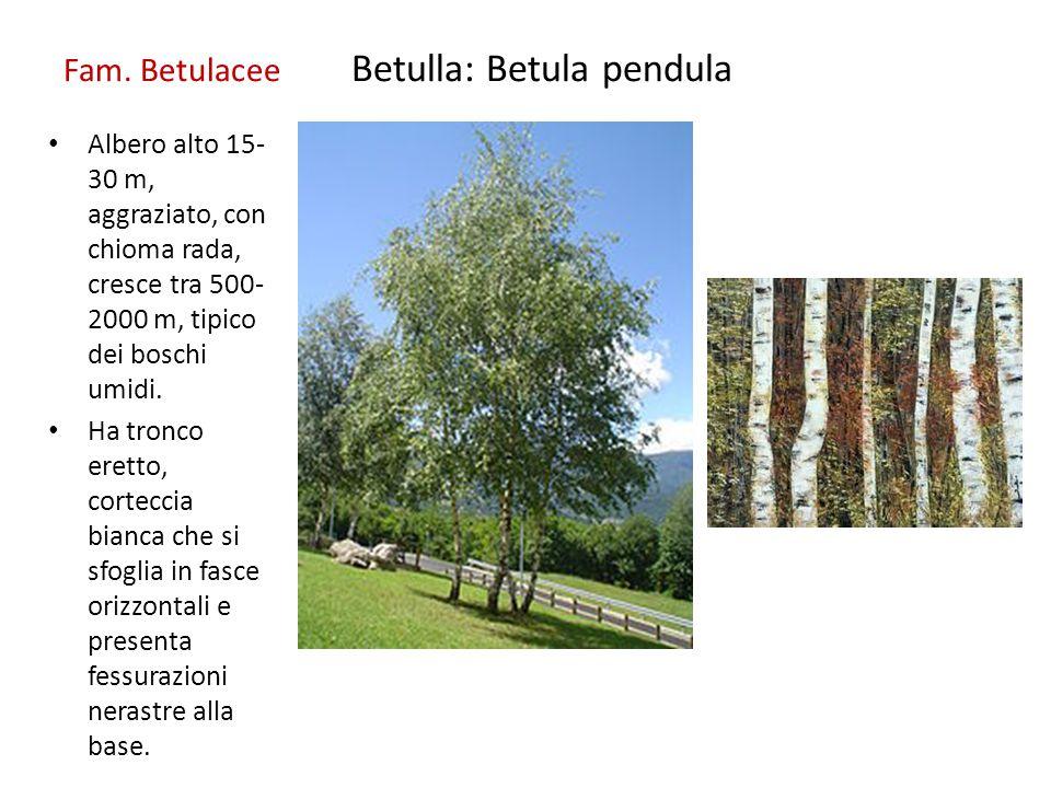 Fam. Betulacee Betulla: Betula pendula
