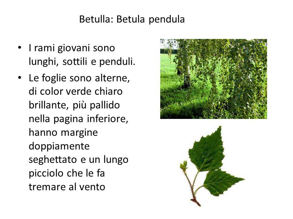 Betulla: Betula pendula