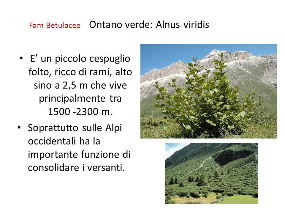 Fam Betulacee Ontano verde: Alnus viridis