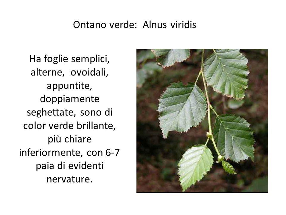 Ontano verde: Alnus viridis