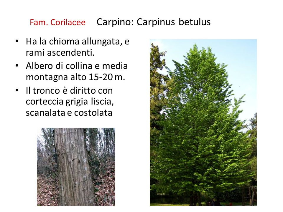 Fam. Corilacee Carpino: Carpinus betulus