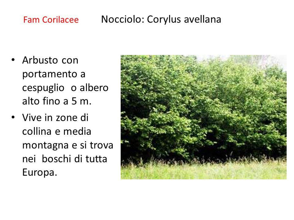 Fam Corilacee Nocciolo: Corylus avellana