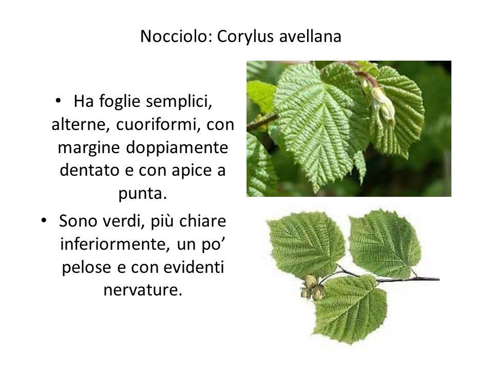 Nocciolo: Corylus avellana
