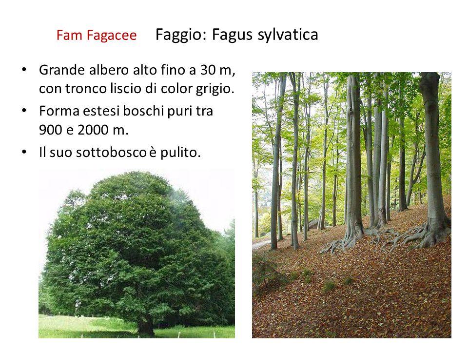 Fam Fagacee Faggio: Fagus sylvatica